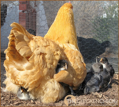 Buff Orpington hen with chicks