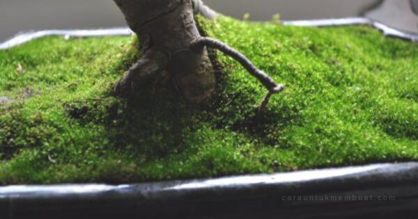 Cara Menumbuhkan Lumut Pada Bonsai