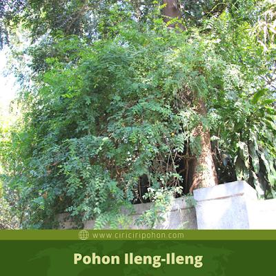 Ciri Ciri Pohon Ileng-Ileng
