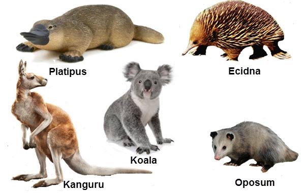 Marsupialia dan Moboterma