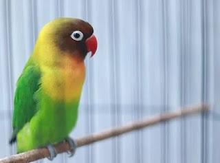Cara Tepat Agar Burung Lovebird Ngekek Panjang Dan Durasian