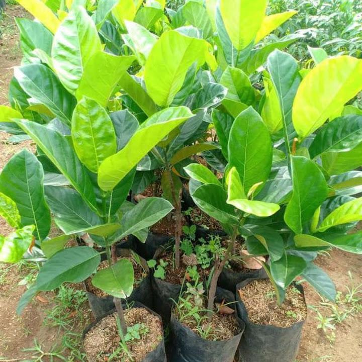 Bibit Nangkadak Hasil Stek Okulasi Cepat Berbuah Sumatra Utara