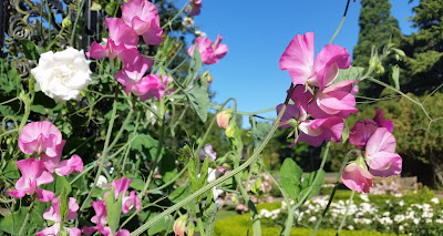 Sweat Peas in Government House Gardens