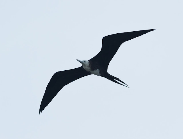 Magnificent Frigatebird - Dry Tortugas NP, Florida