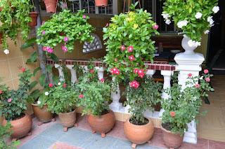 cara menanam tanaman hias di dalam pot yang baik