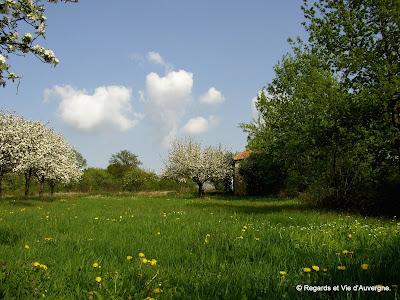 Campagne Auvergnate, pommiers en fleurs