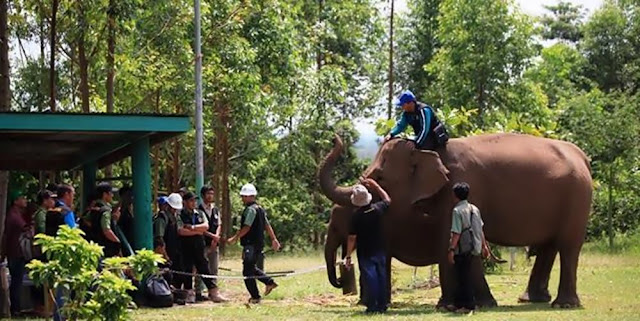 skuat gajah terbang, Royal Golden Eagle, gajah sumatera