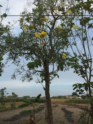 Tukang Taman Surabaya Jual Pohon Tabebuya kuning