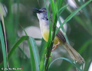 Burung Ciblek - Jenis Burung Ciblek Prinia Sylvatica - Penangkaran Burung Ciblek