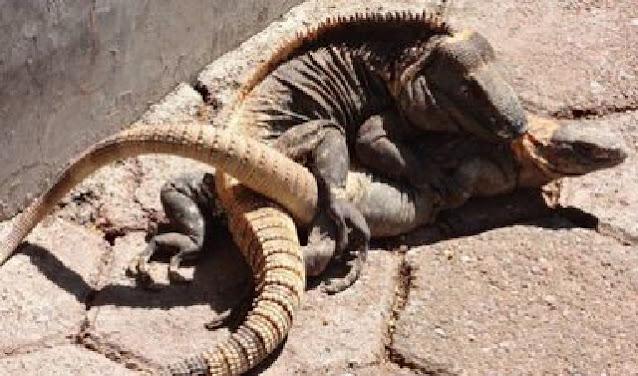 Trabaja Csaegro en la producción, conservación y aprovechamiento de la iguana negra