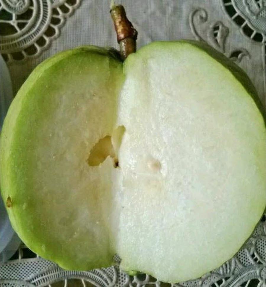 Bibit Jambu Kristal Tanpa Biji Jambu Kristal Seedless Non Biji Papua