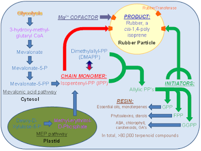 organism used to synthesise polylactic acid