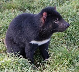 タスマニアデビル (Tasmanian Devil)