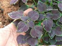 Obat demam dengan menggunakan daun tanaman miana