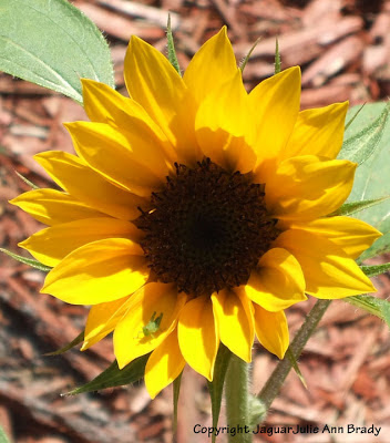 Pretty yellow sunflower blossom with a green grasshopper