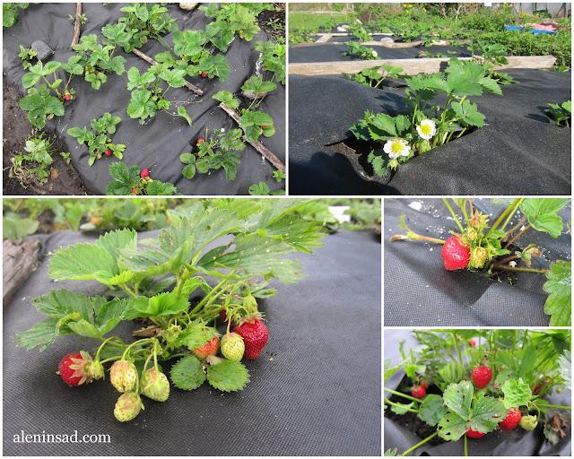 посадка земляники на спанбонд, минусы, аленин сад,