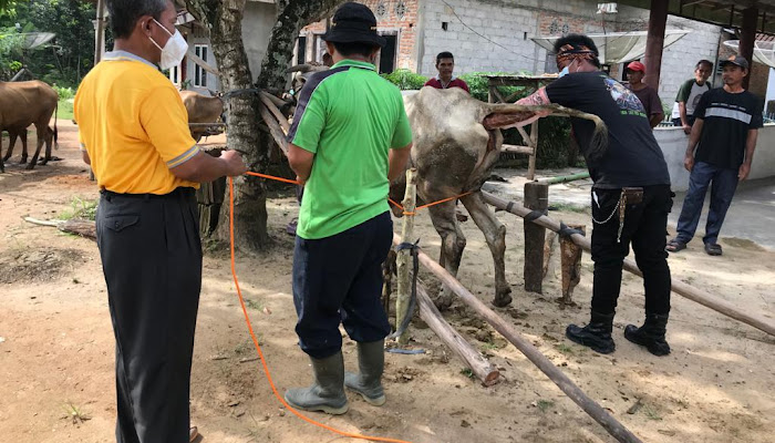 Tubaba Terus Berupaya Meningkatkan Populasi Ternak Sapi