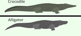 Perbedaan Aligator dan Buaya