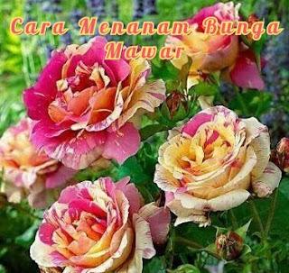 Cara Menanam Tanaman Bunga Mawar dengan  Mudah
