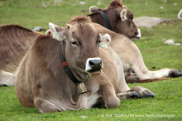 Brown milk cows in Kühtai in Austria