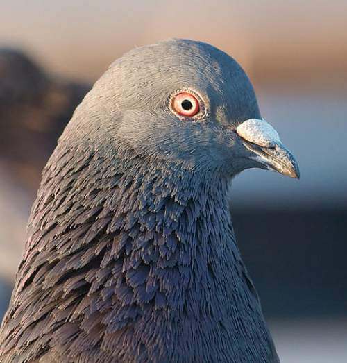 Birds of India - Rock dove - Columba livia