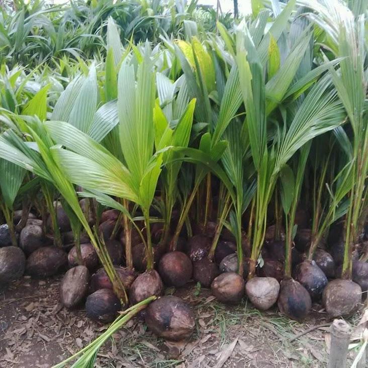 Bibit kelapa genjah entok unggul berkualitas dijamin berbuah 2 3thn Kalimantan Utara