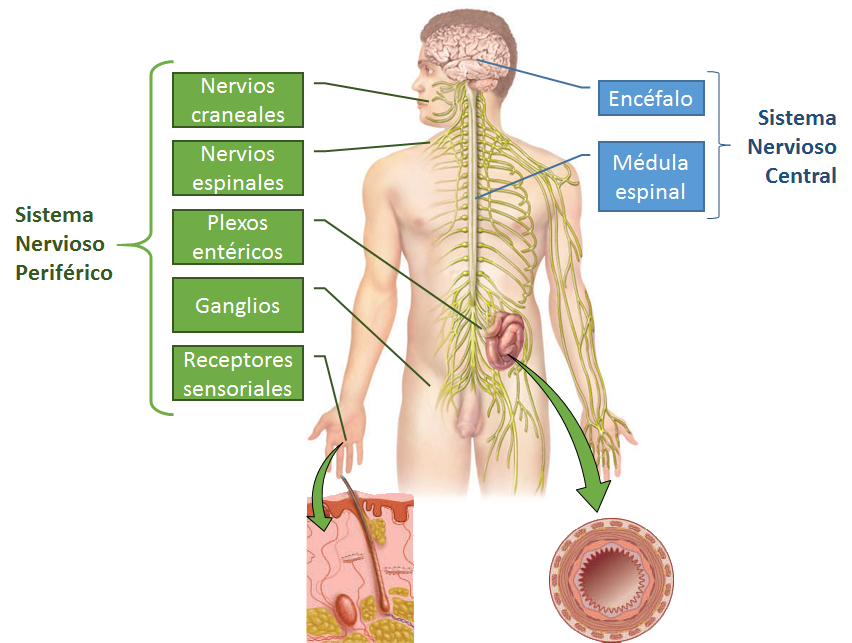 B.log.ia 2.0: Sistema Nervioso I: aspectos generales