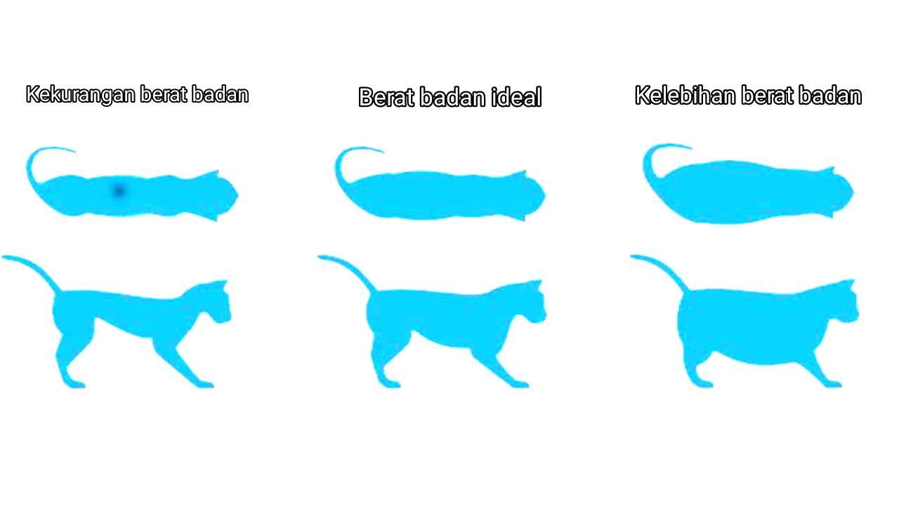 Bentuk tubuh ideal kucing
