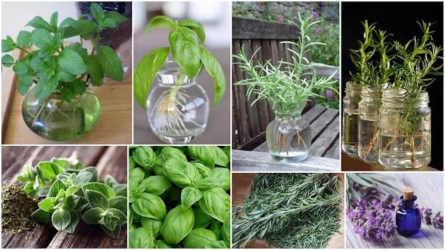 Καλλιέργεια Αρωματικών Φυτών σε νερό