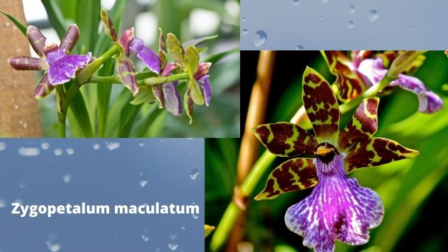 Some Fragrant Orchids List