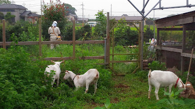 Human weed cutter and goats, summer, Japan