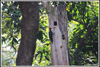 Black Woodpecker at Dandeli