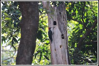 Black Woodpecker at Dandeli
