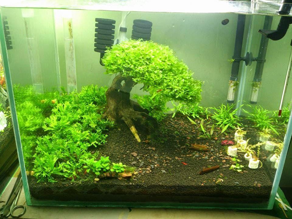 Rêu pelia được buộc lên lũa bon sai trong hồ thủy sinh