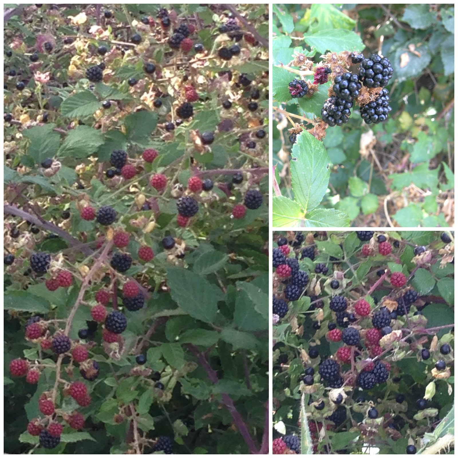 moras, blackberries