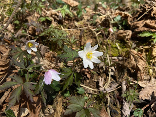 [Ranunculaceae] Anemone nemorosa