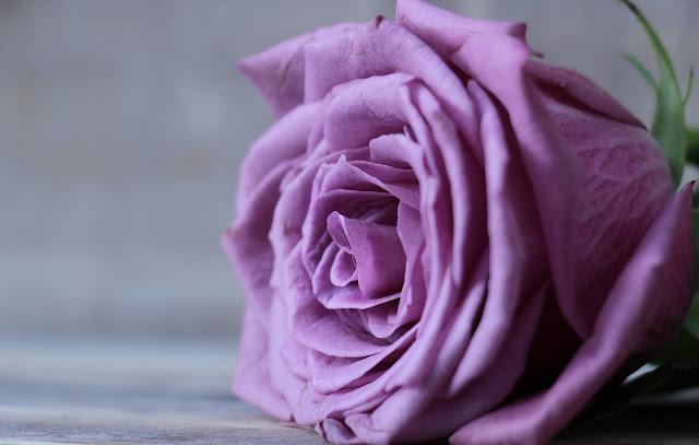 gambar bunga ros cantik