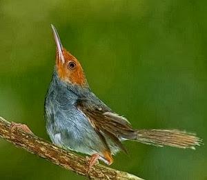 burung kenari, cucak hijau, lovebird, murai batu, atau kacer