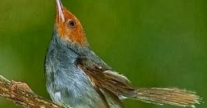 Ciri Ciri Bakalan Prenjak Kepala Merah Berkualitas Bagus Kicaukan Klub Burung Kicau