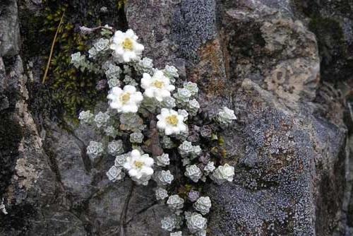Gambar bunga edelweis new zealand