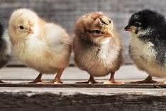 Update Harga DOC Ayam Joper Dan Harga Ayam Joper Siap Panen Saat Ini  2021 Terbaru