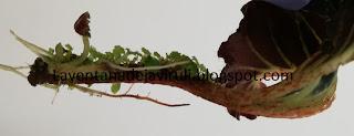 multiplicación-begonia-breakdance