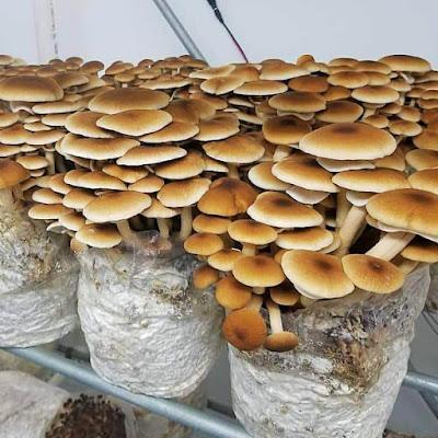 Pioppino mushroom supply