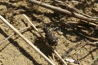 Cicindela tranquebarica - Cicindèle à ligne oblique