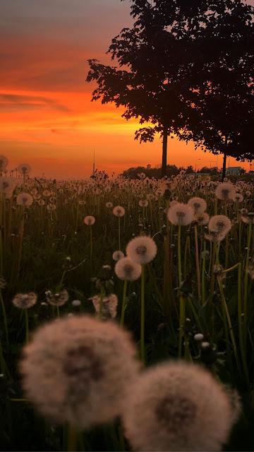 Free wallpaper Sunset, Field, Dandelions, Plants, Trees