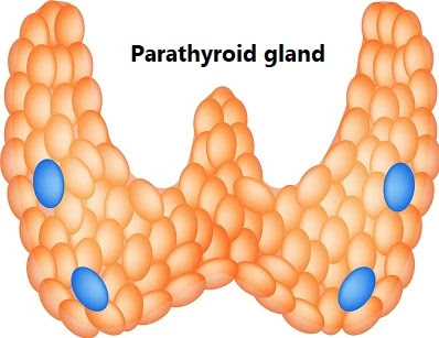 पैराथायराइड ग्रंथि (Parathyroid gland)