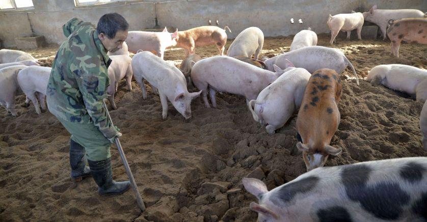 Chine : Découverte d'un inquiétant virus de grippe porcine capable de provoquer une nouvelle pandémie