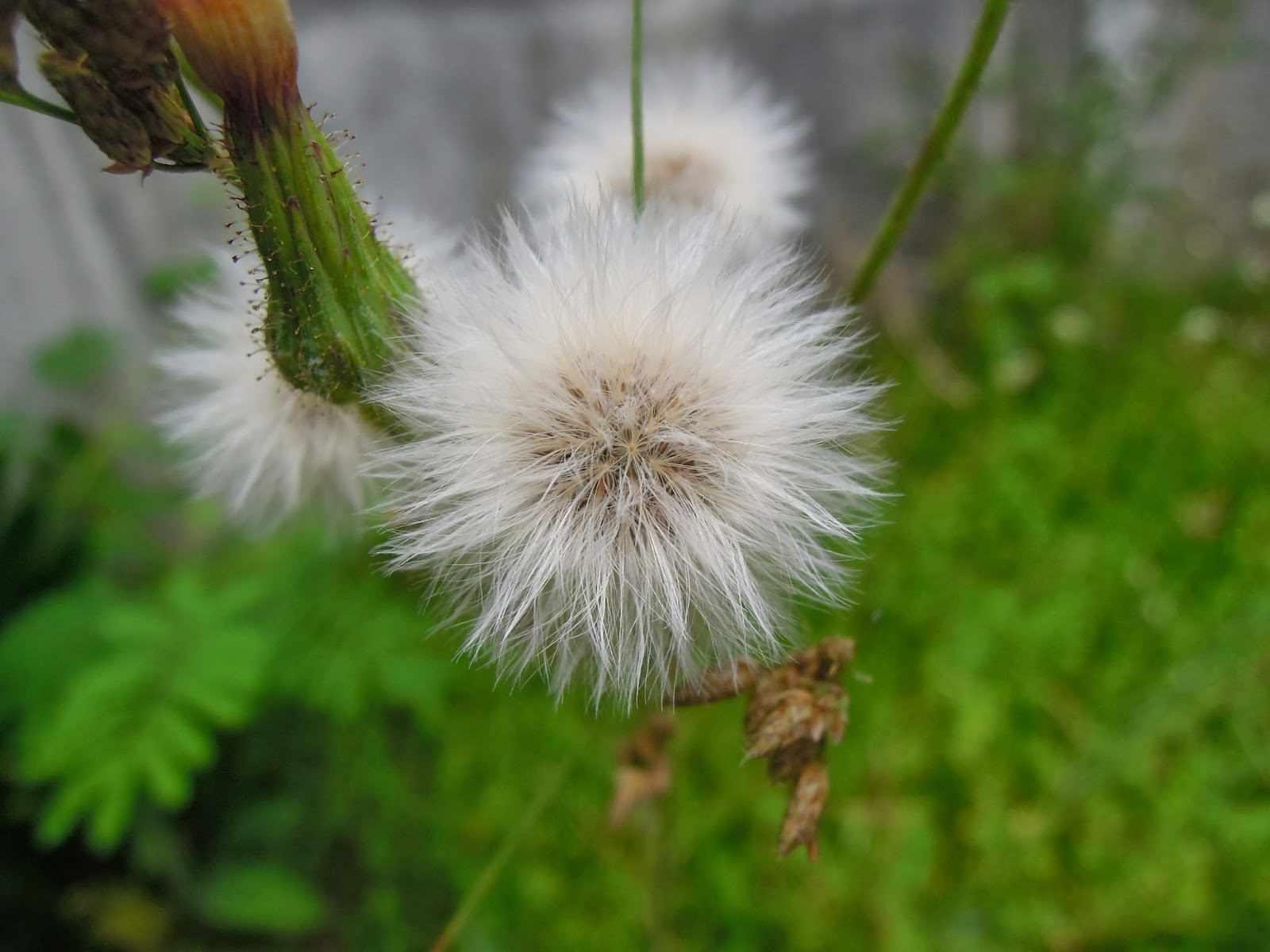 A flower in Cabanatuan City