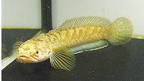 Channa Bleheri (Rainbow snakehead)