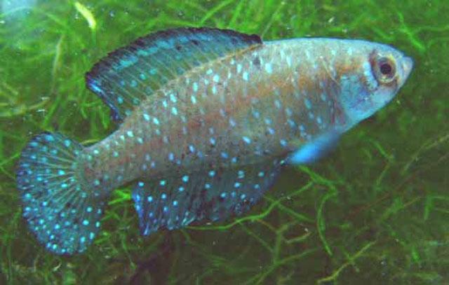 An Argentine Pearlfish Austrolebias nigripinnis